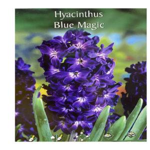 Ζουμπούλι μπλε Hyacinthus Blue Magic