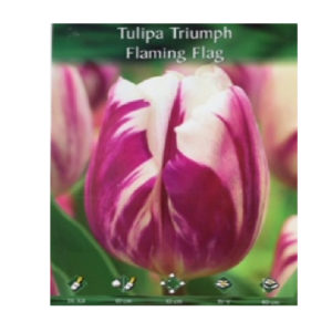 Τουλίπα δίχρωμη Flaming flag