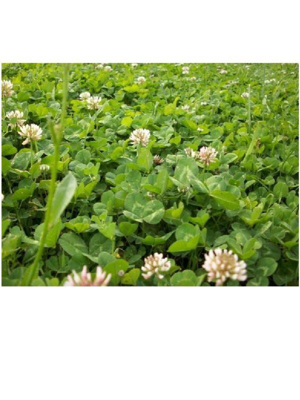 Trifolium reppens τριφύλλι