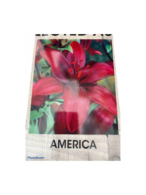 Λίλιουμ Ασιατικό America