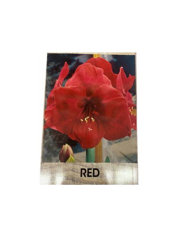 Αμαρυλλίδα μονή red