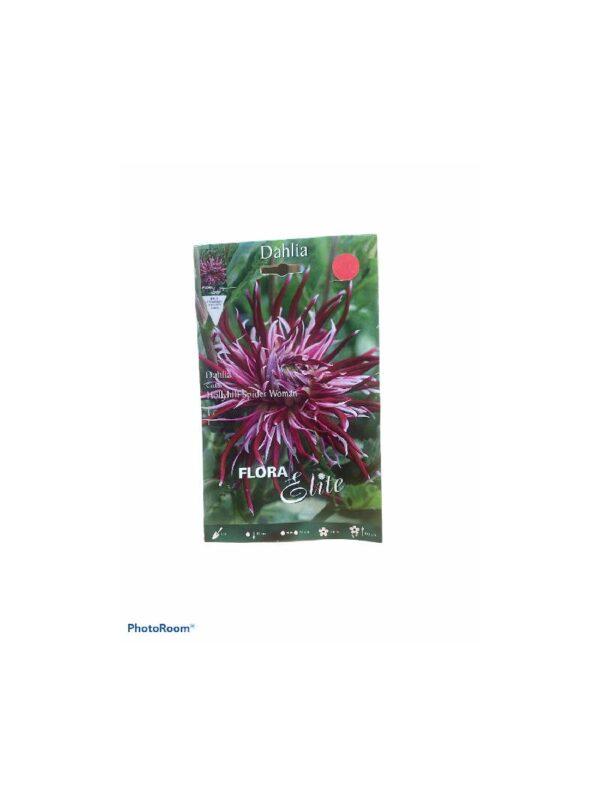 Δίχρωμο Υβρίδιο ντάλιας σε ροζ- μπορντό χρώμα  Hollyhill Spider Woman
