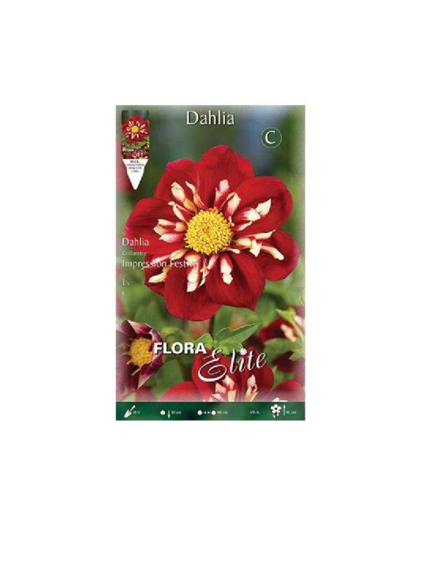Ντάλια υβρίδιο-Special  σε κόκκινο-λευκό χρώμα Impression Festivo