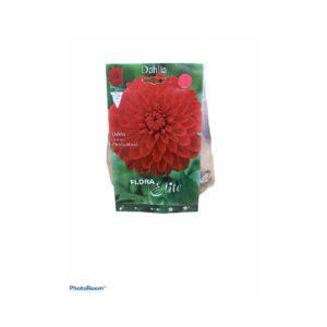 Γλαδιόλα  άγρια δίχρωμη κρεμ – κόκκινο χρώμα fiorentina