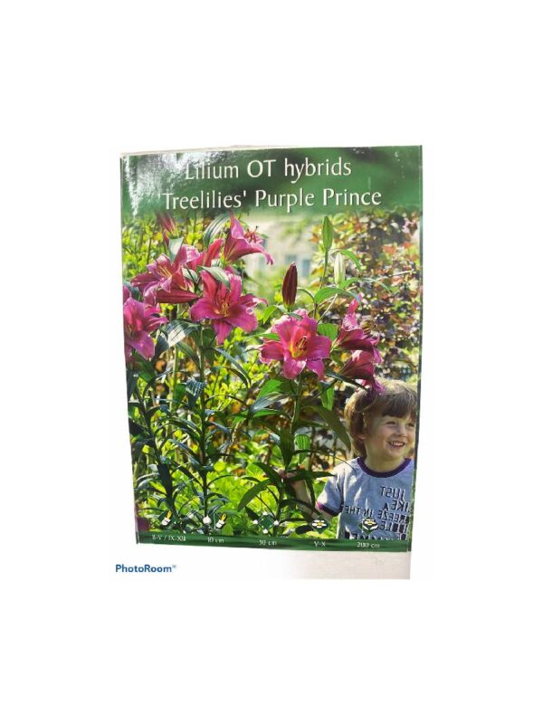 Λίλιουμ αρωματικό  δενδρώδες Treelilies purple prince
