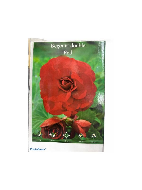 Μπιγκόνια/Βιγόνια αρωματική Begonia double red
