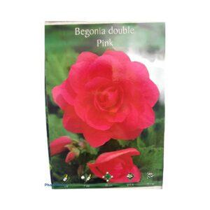 Μπιγκόνια/Βιγόνια αρωματική Begonia double pink