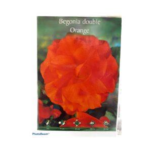 Μπιγκόνια/Βιγόνια αρωματική Begonia double white