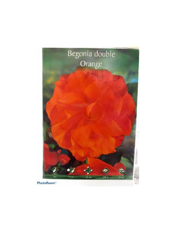 Μπιγκόνια/Βιγόνια αρωματική Begonia double orange
