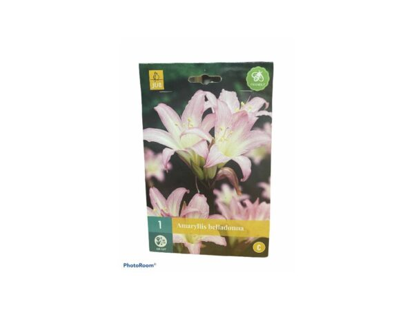 Αμαρυλλίδα αγρια αρωματική  belladonna