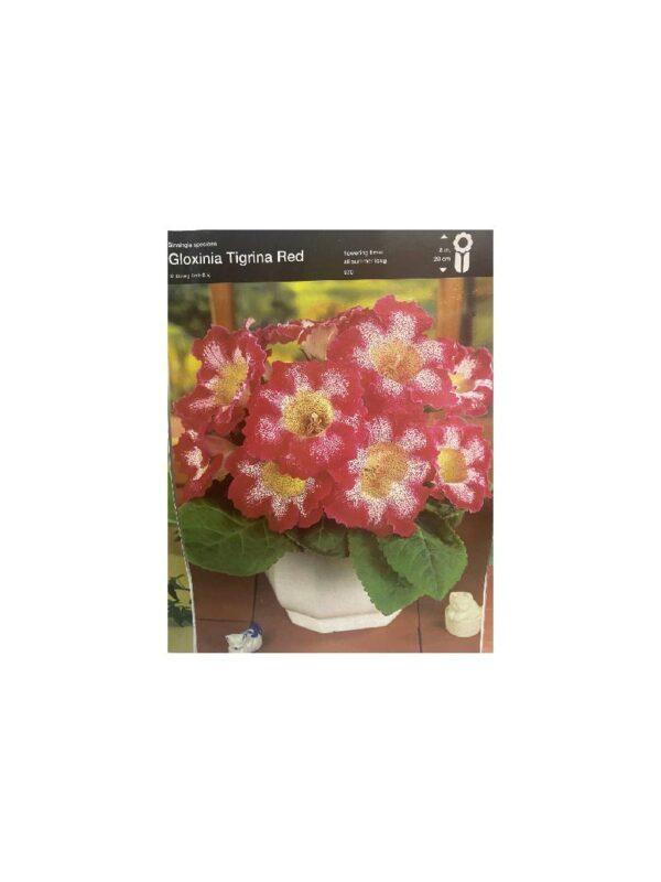 Γλοξίνια, Gloxinia tigrina red