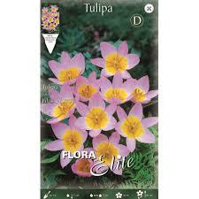 Τουλίπα μονόχρωμη λιλά Lilac Wonder φάκελο 10τμχ.